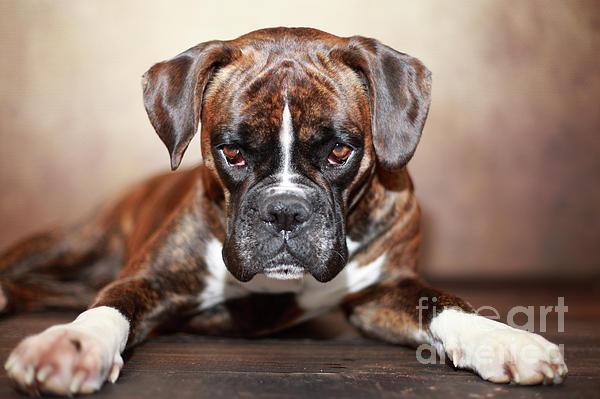 Jana Behr - German Boxer Dog