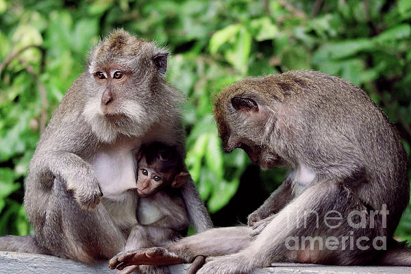 Cassandra Buckley - Long Tailed Macaques