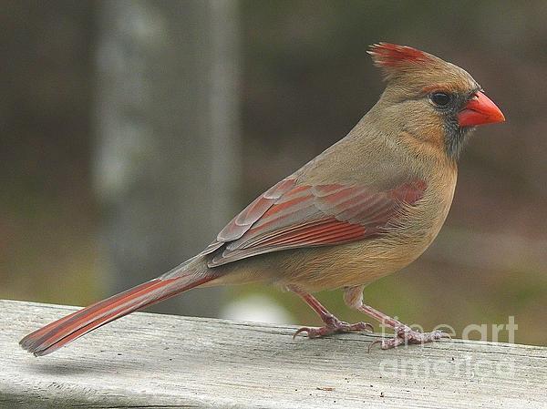 Maxine Billings - Mrs Cardinal