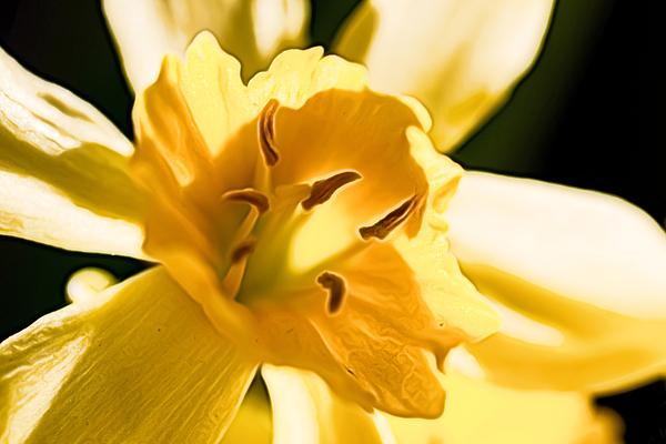 Colin Hunt - Flower 080 Narcissus Superstar