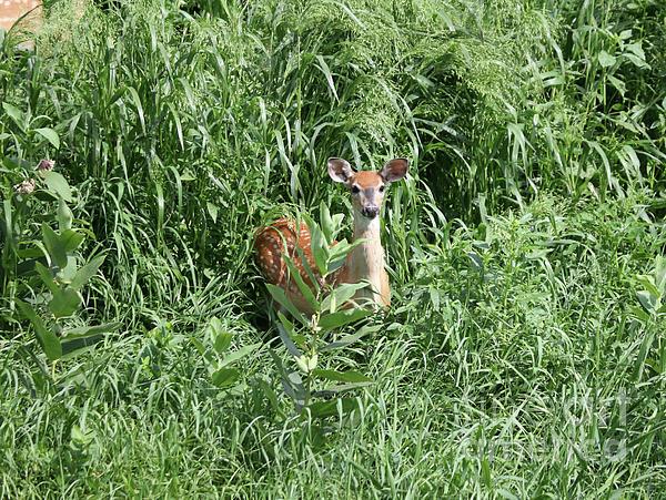 Lori Tordsen - Fawn in the grass