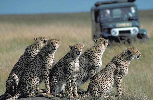 Carl Purcell - Teen-Age Cheetahs with Attitude