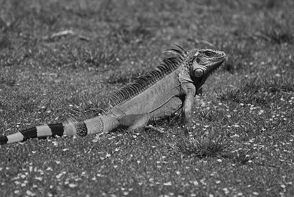 I Iguana Photograph