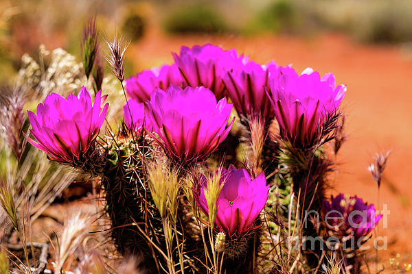 Raul Rodriguez - Sedona Cactus Flower