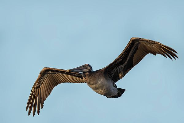 Thomas Morris - California Brown Pelican