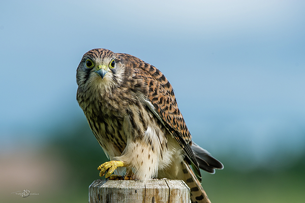 Torbjorn Swenelius - A beautiful young kestrel looking behind you