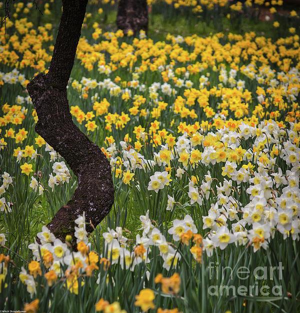 Mitch Shindelbower - A Field Of Daffodils