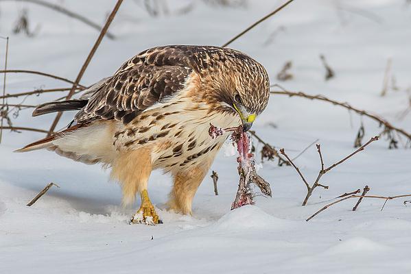 Morris Finkelstein - A Hawk