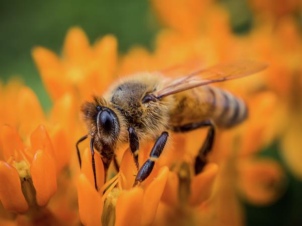 Lilia D - A honey bee