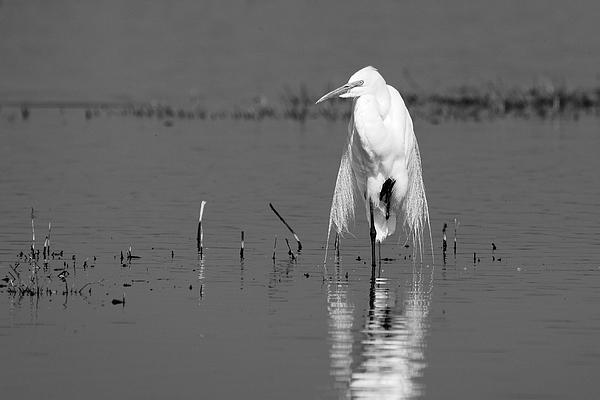 Darin Volpe - Elegance -- Great Egret at Merced National Wildlife Refuge, California