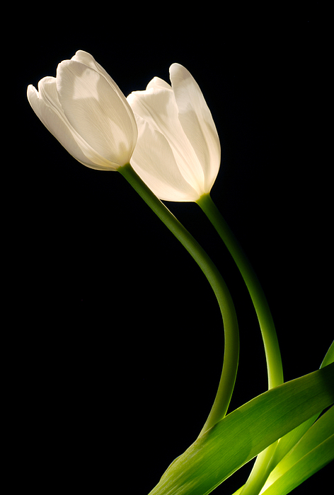 Dung Ma - A pair of white tulips