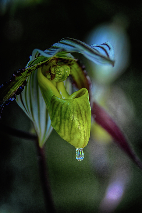 Don Columbus - A Raindrop on a Lady Slipper
