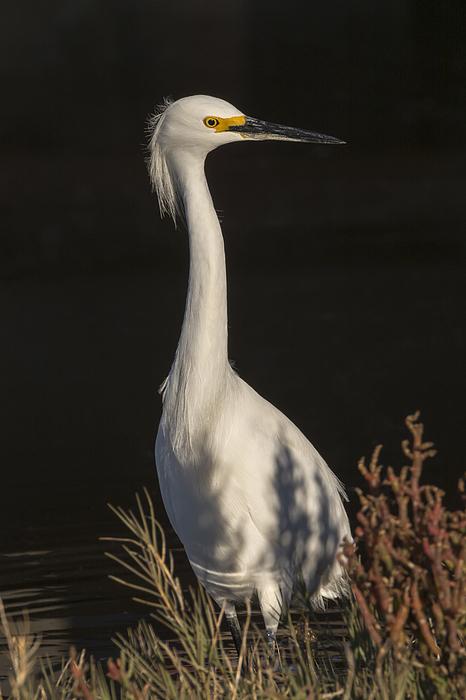 Bruce Frye - A Snowy Egret Portrait
