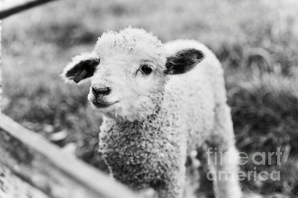 Lara Morrison - A Sweet Lamb