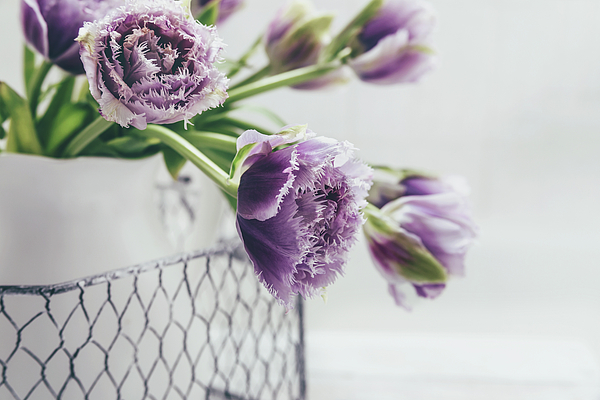 Kim Hojnacki - A Tulip Moment
