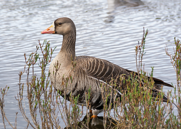Bruce Frye - A White-fronted Goose