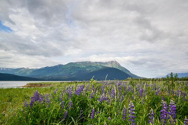 Paul Quinn - Alaskan wildflowers