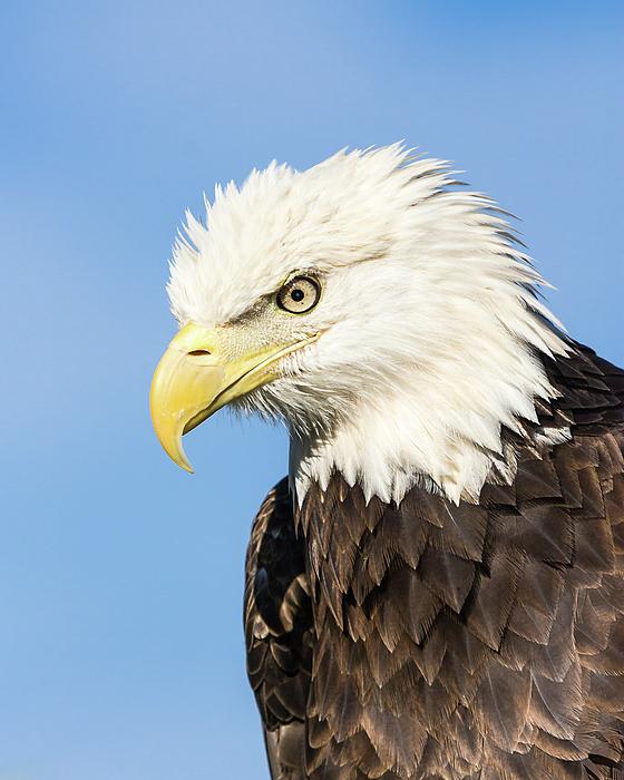 Dawn Currie - American Bald Eagle I