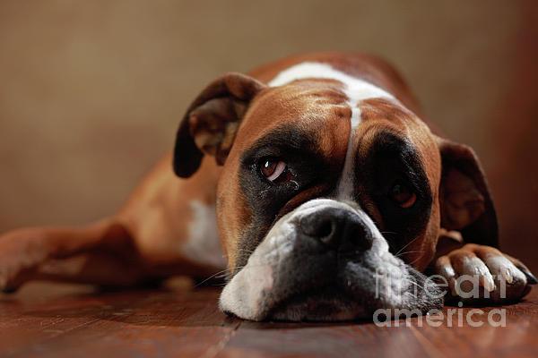 Jana Behr - American Boxer Dog