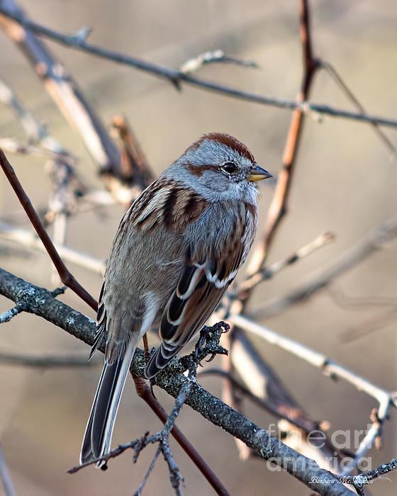 Barbara McMahon - American Tree Sparrow Profile