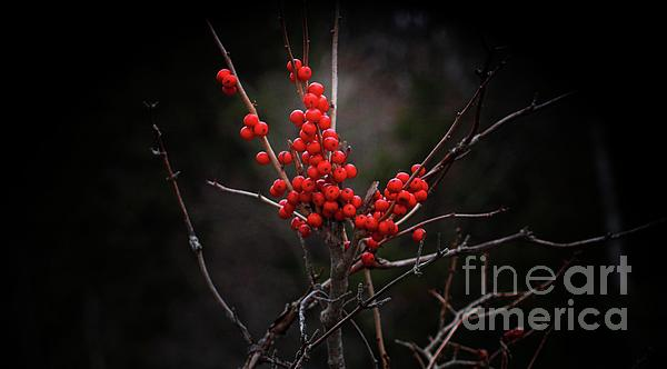 Marcia Lee Jones - American Winterberry