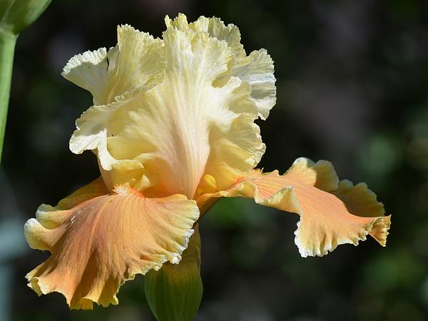 Ed Mosier - Another Nice Iris