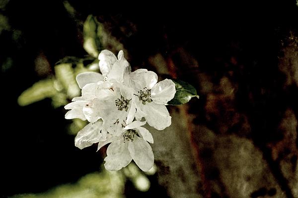 Sharon Popek - Apple Blossom Paper
