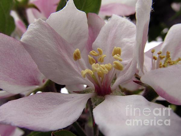 Kim Tran - Apple Blossoms #3