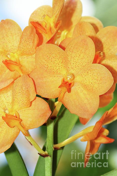 Judy Whitton - Ascocenda Su-Fun Beauty Orange Belle Orchids