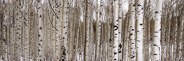 Brian Harig - Aspens In Winter Panorama - Colorado