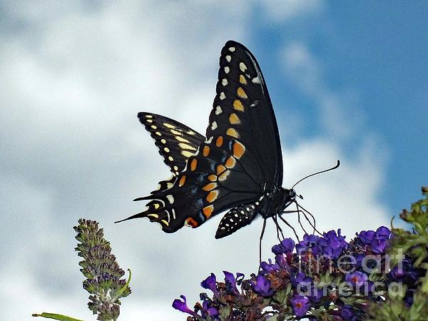 Cindy Treger - At The Top - Black Swallowtail