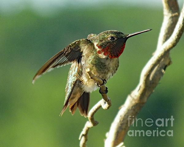 Cindy Treger - Attitude and Beauty - Ruby-throaated Hummingbird