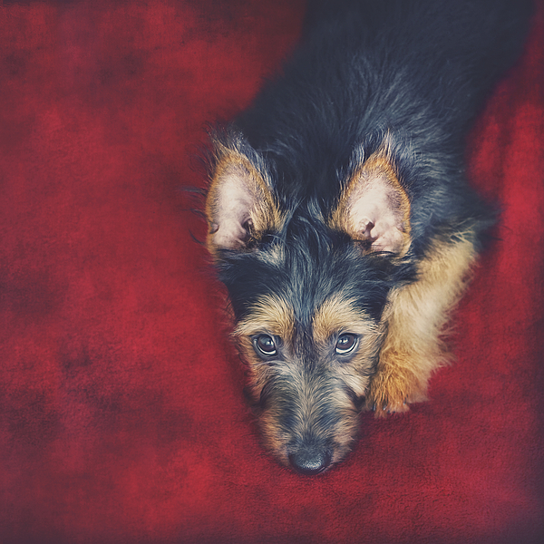 wolf terrier australian terrier puppy 2 by wolf shadow photography 9395