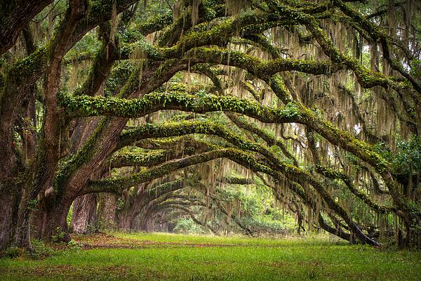 Dave Allen - Avenue of Oaks - Charleston SC Plantation Live Oak Trees Forest Landscape