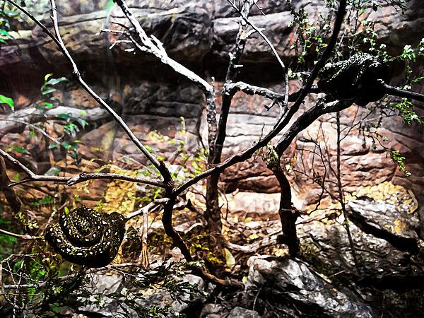 Miroslava Jurcik - Baby Diamond Pythons Home