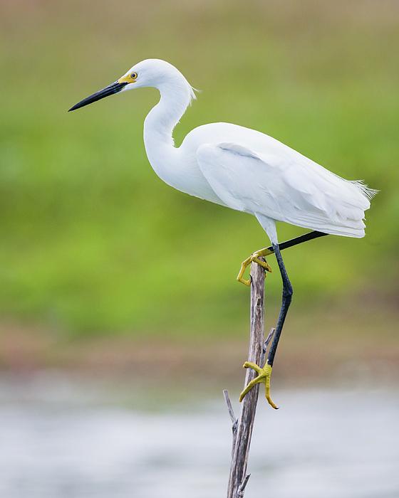 Dawn Currie - Balancing Snowy Egret Portrait