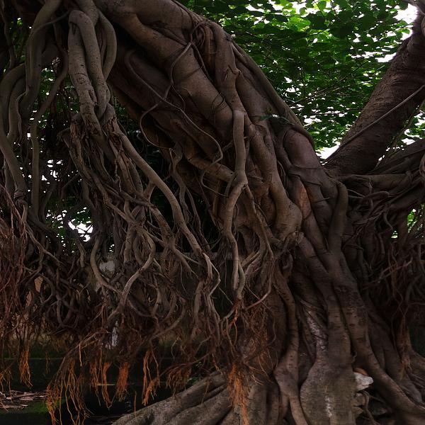 Nilu Mishra - Banyan tree