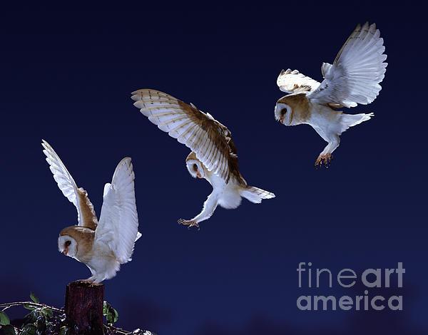 Warren Photographic - Barn Owl alighting triple image