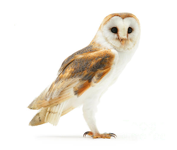 Warren Photographic - Barn Owl on white