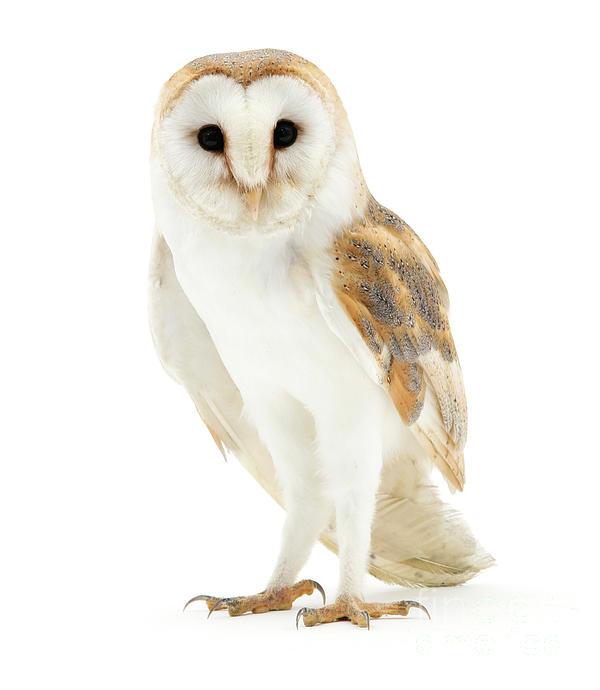 Warren Photographic - Barn Owl