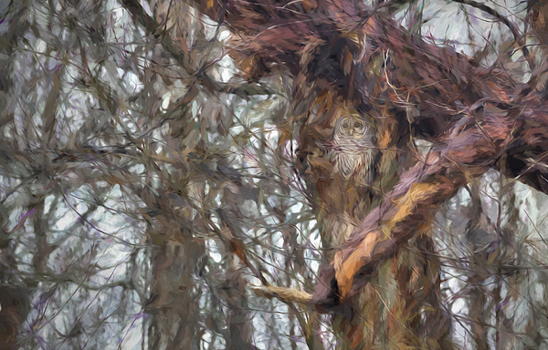 Francis Sullivan - Barred Owl in Nest