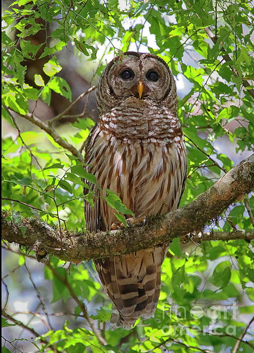 Myrna Bradshaw - Barred Owl in the branches