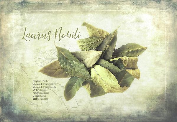 Terry Davis - Bay Leaf Classification