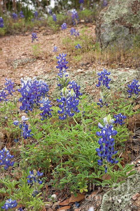 David Cutts - Beautiful Bluebonnets