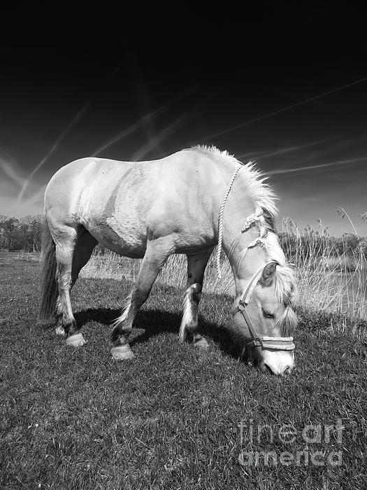Elisabeth Lucas - Beautiful Fjord Horse