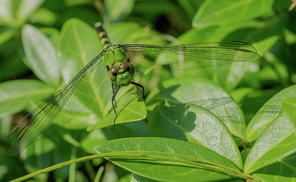 Linda Howes - Beautiful Green Dragonfly