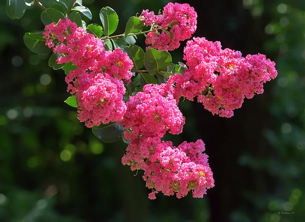 Brian Wallace - Beautiful Summer Blossoms