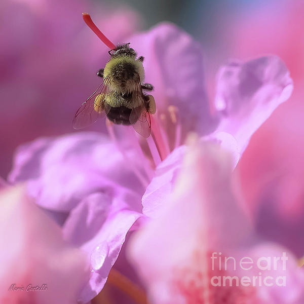 Maria Costello - Bee Pollinating Rhododendron