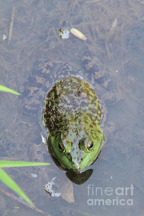 Judy Whitton - Big Bullfrog