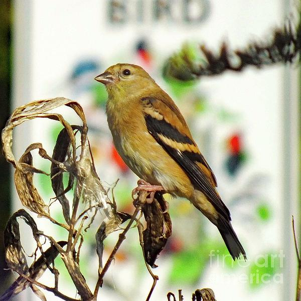 Cindy Treger - bird Sanctuary - American Goldfinch